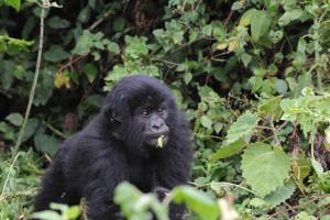 gorille ado HF BD
