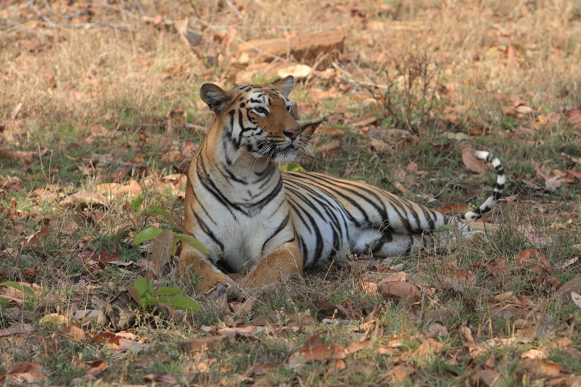 Focus tigre bandhavgarh objectif nature - Tigre polaire ...