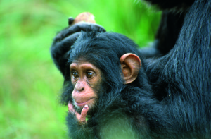 oug_chimp3ENDEWELT_A
