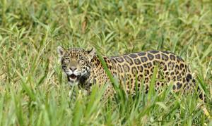 jaguar B 13 7