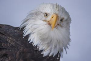 Pygargue à tête blanche  (Haliaeetus leucocephalus) / Bald eagle