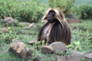 ETHIOPIE . Debre Libanos, août 2005 Mâle sur une prairie d'altitude