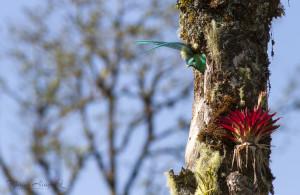 Mâle Quetzal prêt à sortir du nid