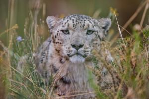 Legend: English and French English Place: Kyrgyzstan   Season: spring - summer Behaviour: snow leopard. Français Lieu: kirghizistan Saison: printemps - été Comportement: panthère des neiges.