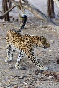 leopard 2 ZA 2020 cecconi