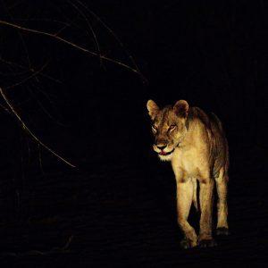 lion nuit ZA 2020 cecconi