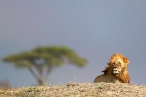 lion TZ 2020 P.Ruppin